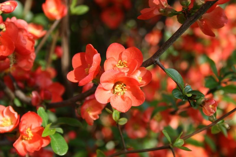 floraisons des arbres et des arbustes - Page 3 Cognas10