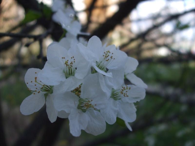 Floraisons du mois d'avril - Page 2 Dscf3212