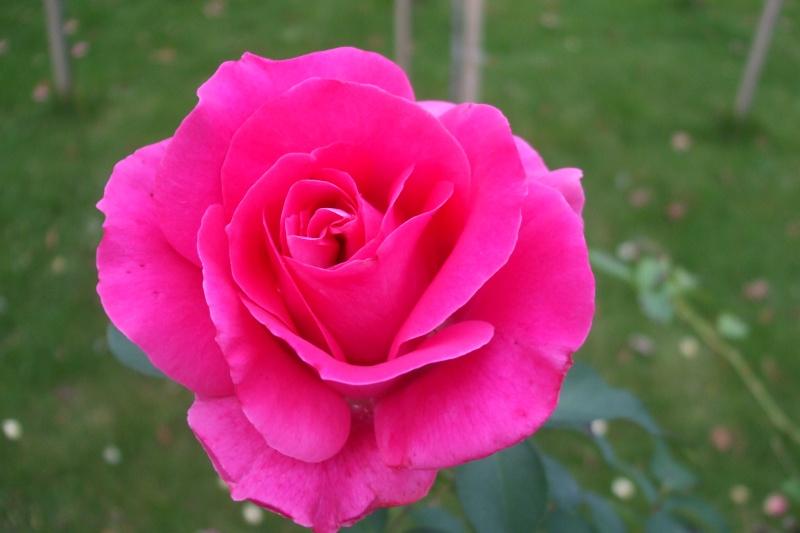 le royaume des rosiers...Vive la Rose ! Dscf3512