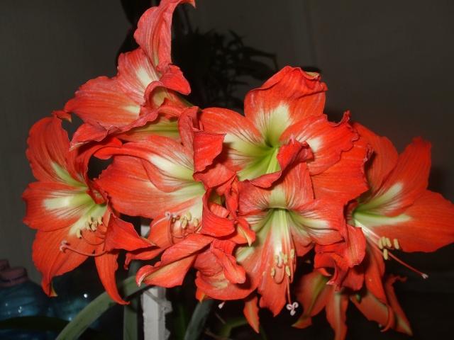 Amaryllis (hippeastrum) -culture, entretien, floraison Dscf3931