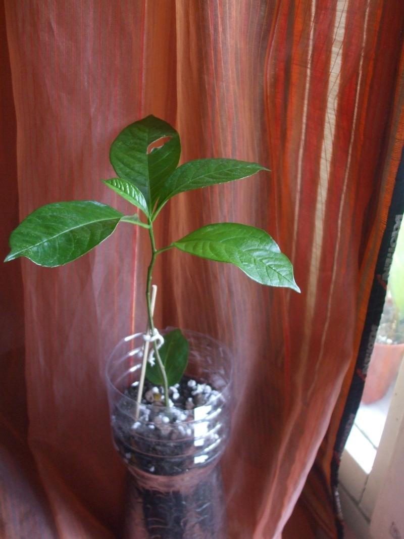 Baobab malade- sauver mon baobab ! Dscf4117