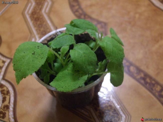 mes plantes exotiques obtenues de graines.... Gbpix_13