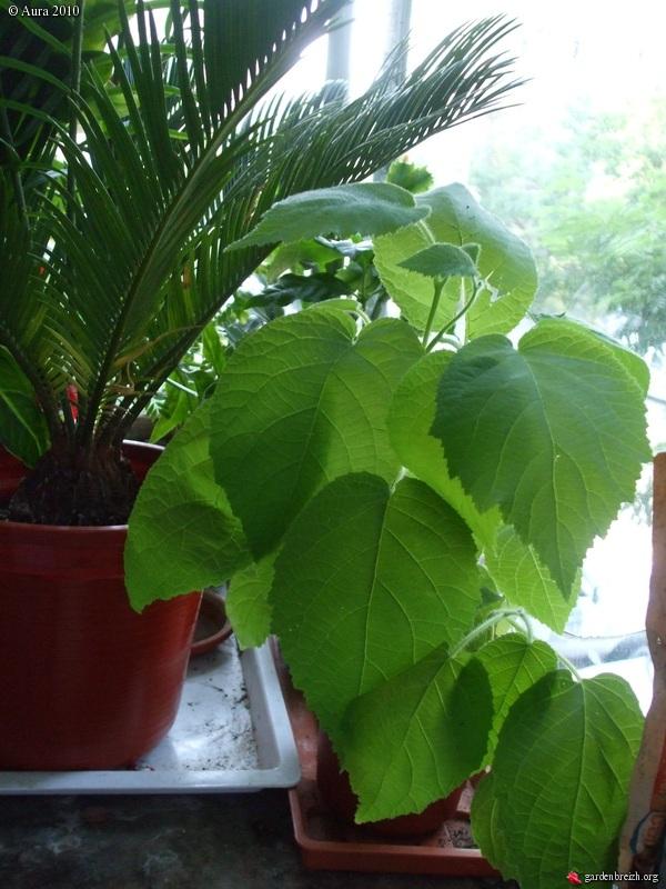 mes plantes exotiques obtenues de graines.... Gbpix_15
