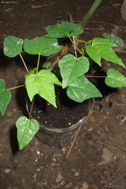 mes plantes exotiques obtenues de graines.... Gbpix_18