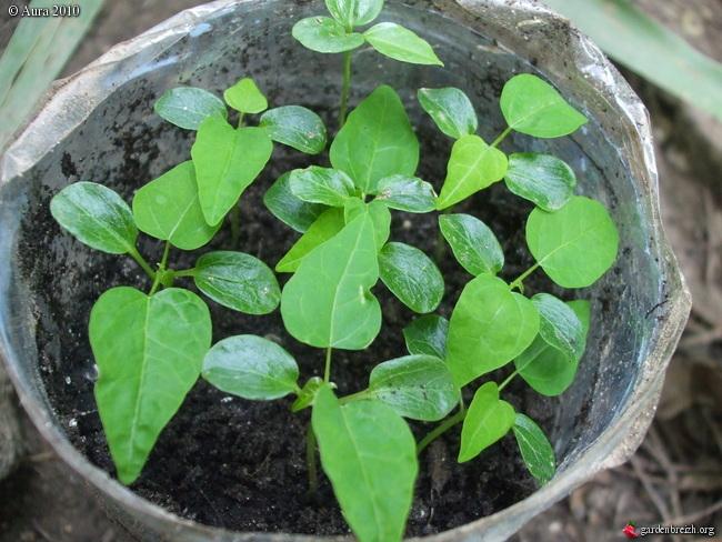 mes plantes exotiques obtenues de graines.... Gbpix_19