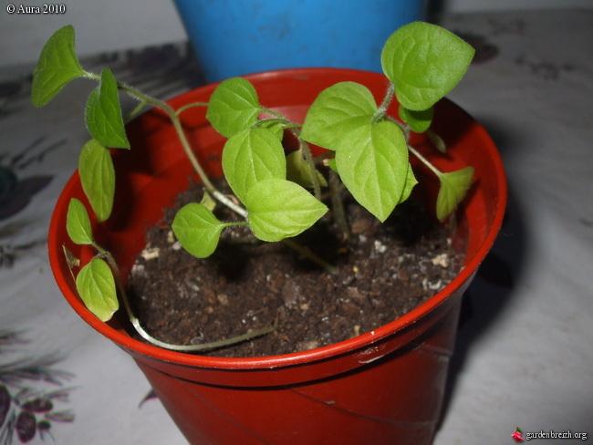 mes plantes exotiques obtenues de graines.... Gbpix_21