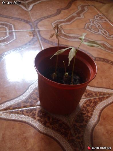 mes plantes exotiques obtenues de graines.... Gbpix_24