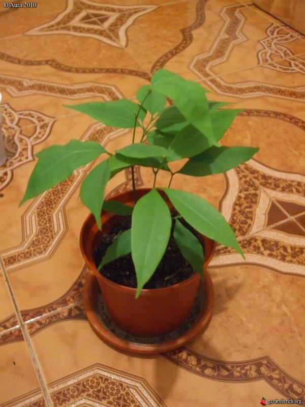 mes plantes exotiques obtenues de graines.... Gbpix_25