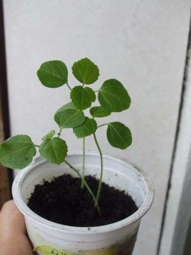 semis de graines d'hibiscus acetesolla Hib310