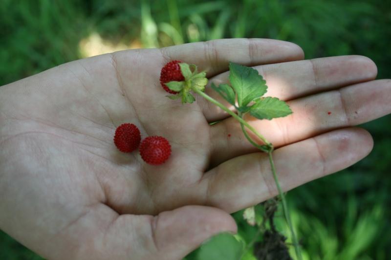 des fausses fraises Img_7010