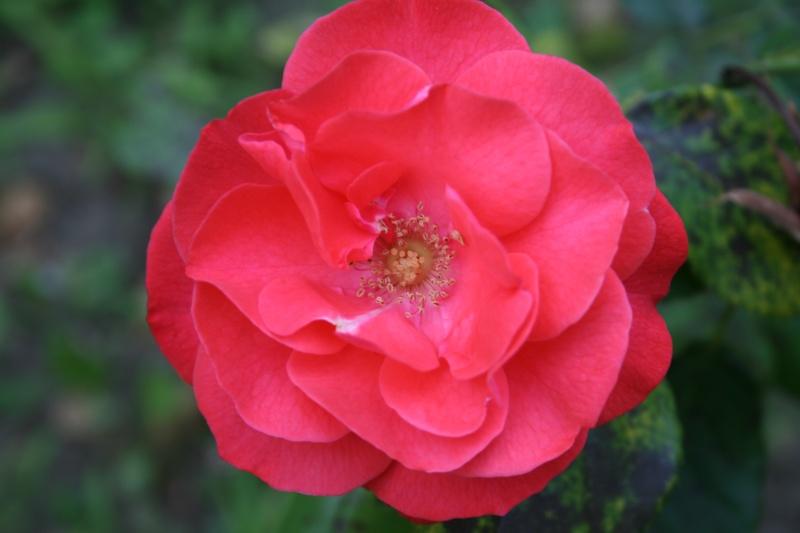 le royaume des rosiers...Vive la Rose ! - Page 2 Img_7012