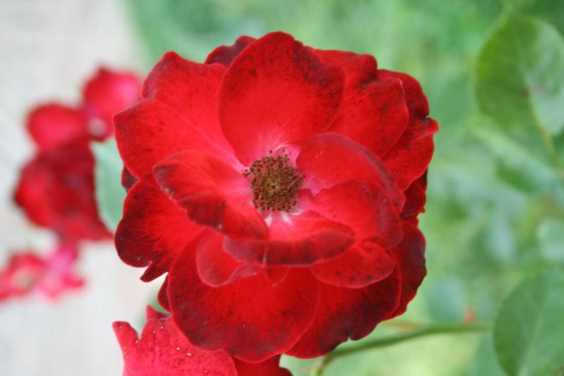 le royaume des rosiers...Vive la Rose ! - Page 2 Img_7013