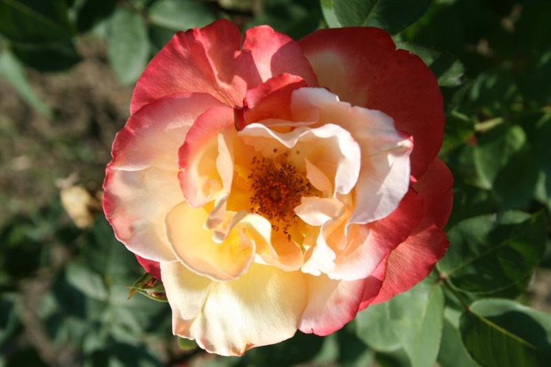 le royaume des rosiers...Vive la Rose ! - Page 2 Img_7014