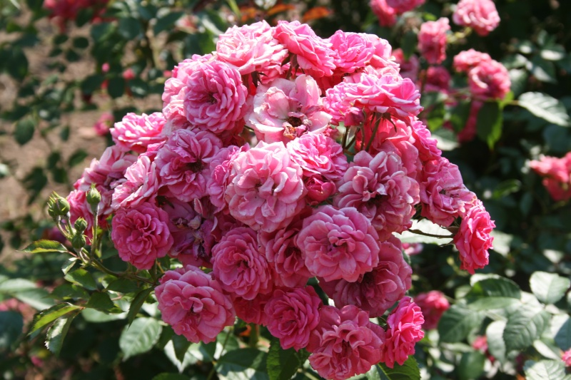 le royaume des rosiers...Vive la Rose ! - Page 2 Img_7015