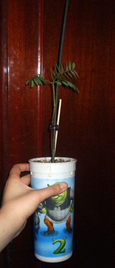 le tamarinier (Tamarindus indica)  Mon_ta10