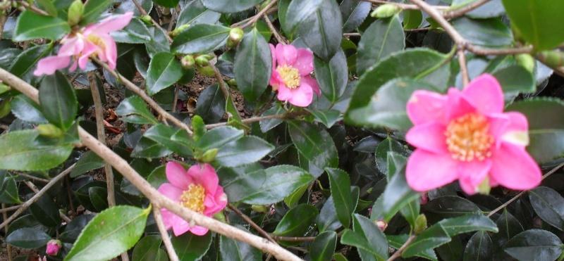 Camélias: variétés, mode de culture, époque de floraison. partie I 00110