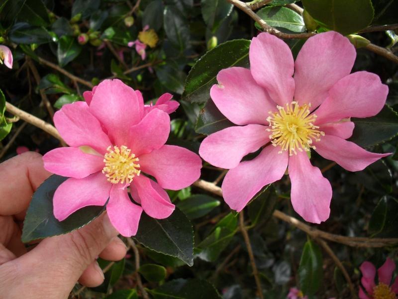 Camélias: variétés, mode de culture, époque de floraison. partie I 00111