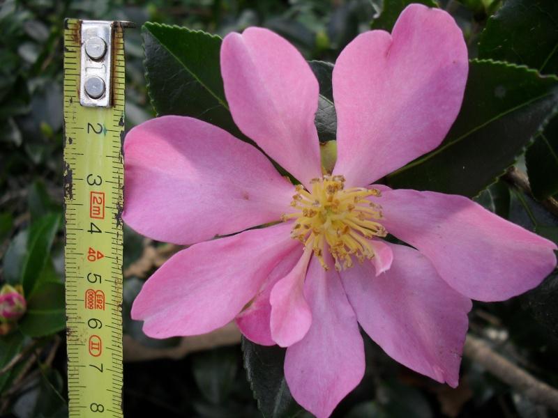Camélias: variétés, mode de culture, époque de floraison. partie I 00224