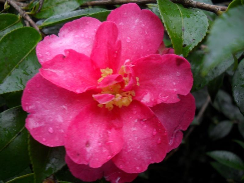 Camélias: variétés, mode de culture, époque de floraison. partie I 00227