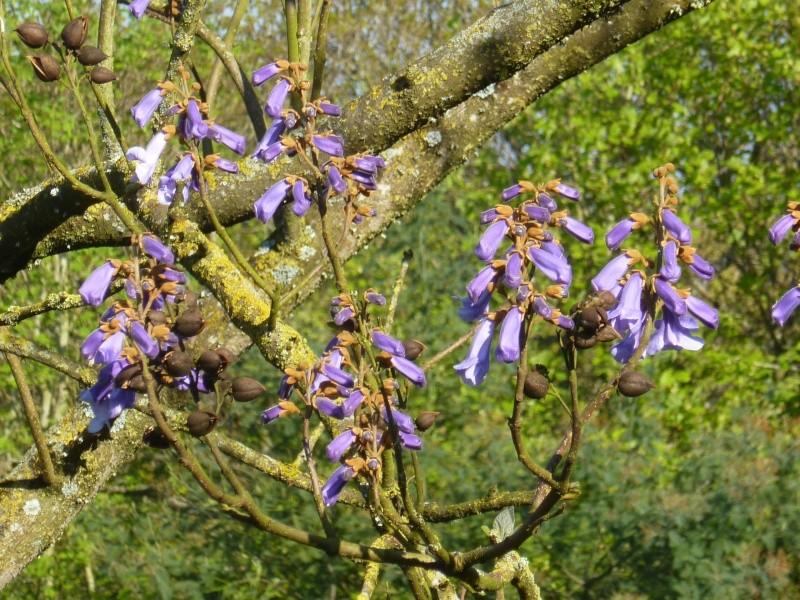 floraisons des arbres et des arbustes - Page 3 00233