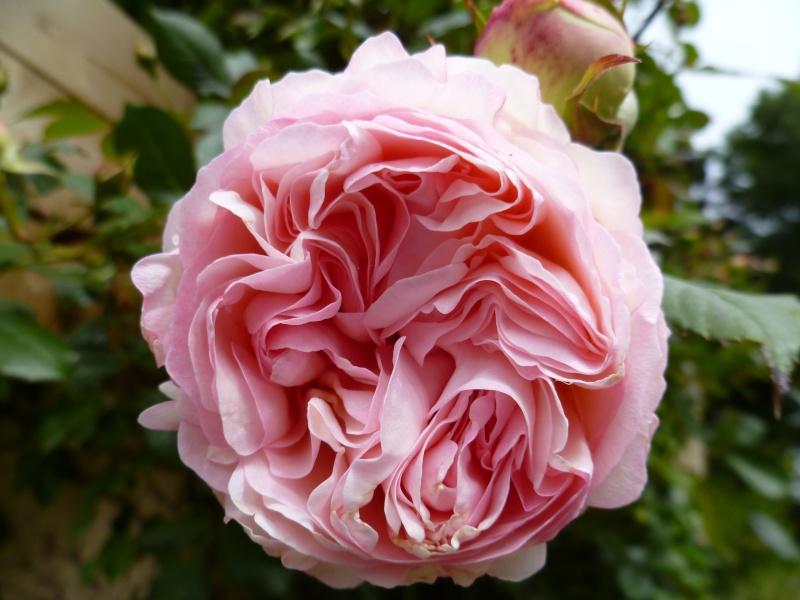 le royaume des rosiers...Vive la Rose ! 00524