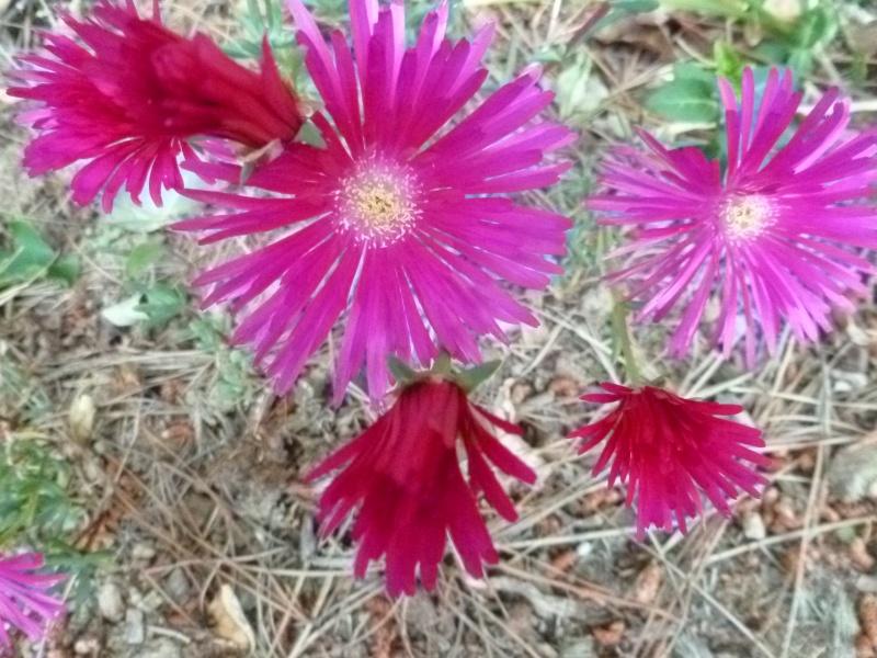 Floraisons du mois de juin 00528