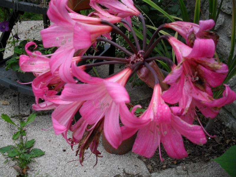 Amaryllis (hippeastrum) -culture, entretien, floraison - Page 2 00610