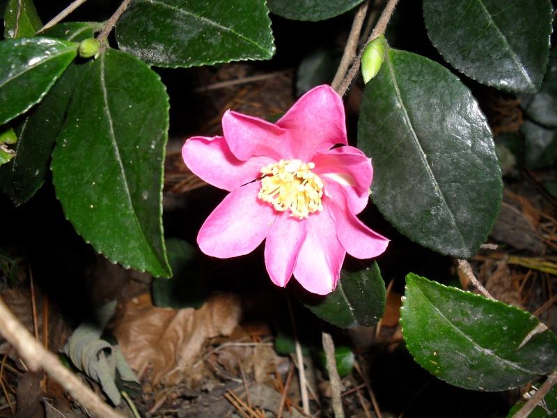 Camélias: variétés, mode de culture, époque de floraison. partie I 00611