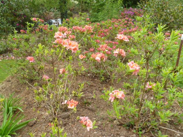 Aperçus de mon jardin Breton 00616