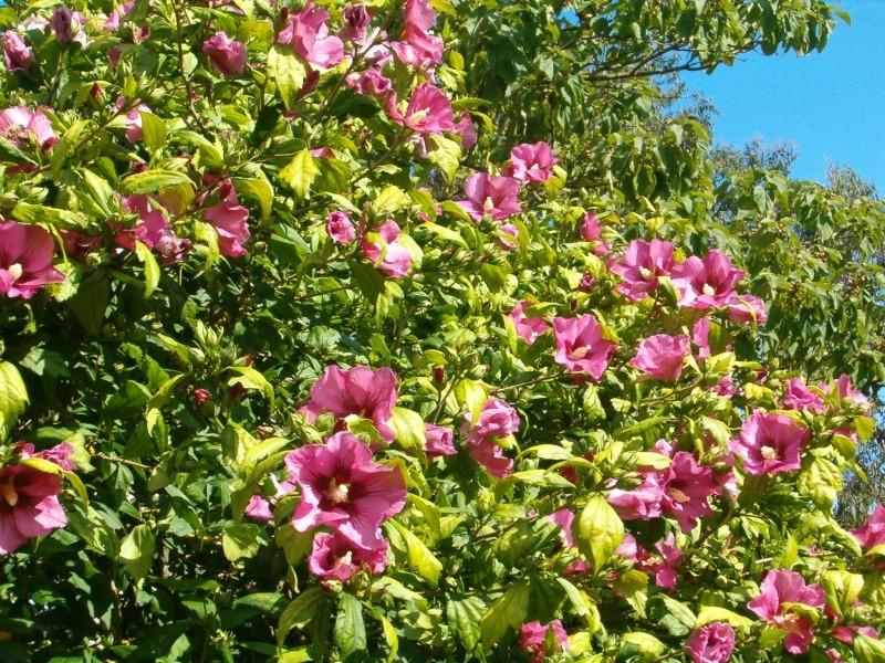 Mes hibiscus et moi...une longue histoire 01211
