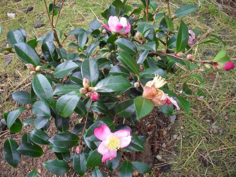 Camélias: variétés, mode de culture, époque de floraison. partie I 01213