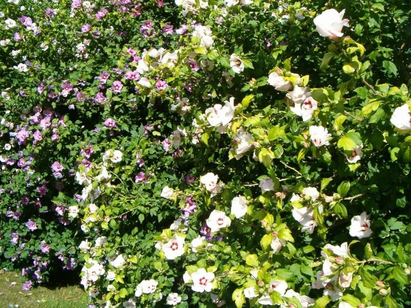 Mes hibiscus et moi...une longue histoire 01312