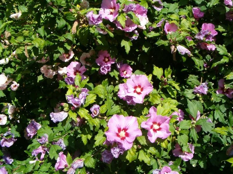 Mes hibiscus et moi...une longue histoire 01412
