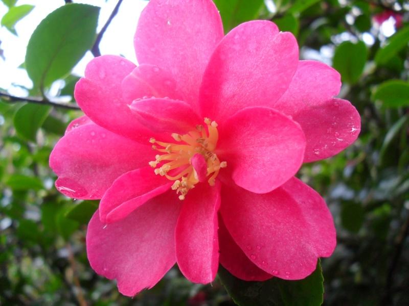 Camélias: variétés, mode de culture, époque de floraison. partie I 01413