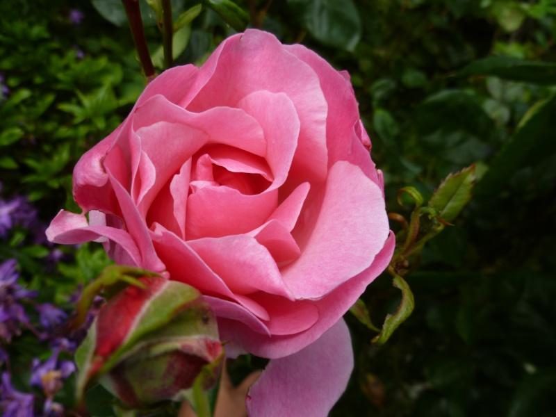 le royaume des rosiers...Vive la Rose ! 01416