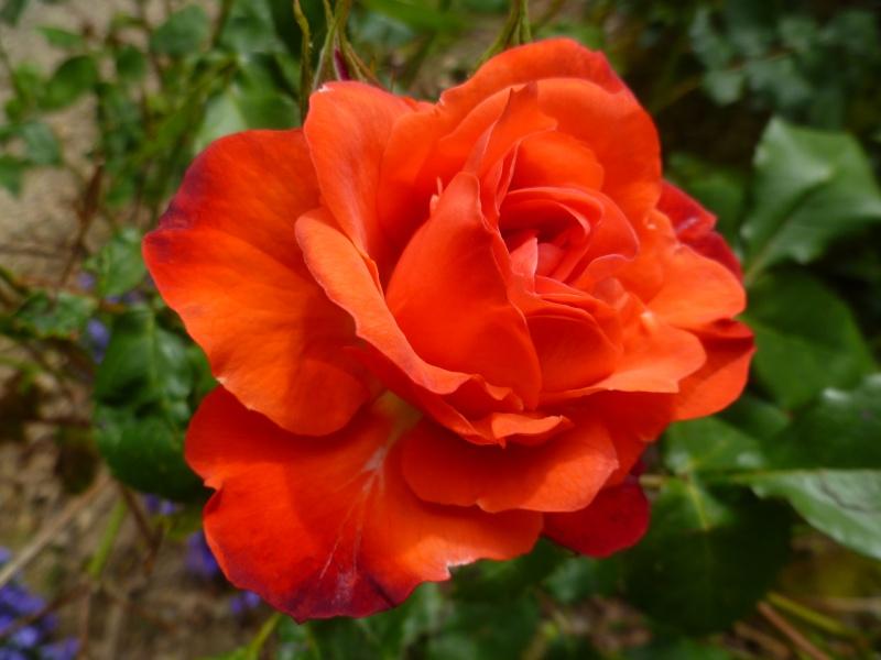 le royaume des rosiers...Vive la Rose ! 01517