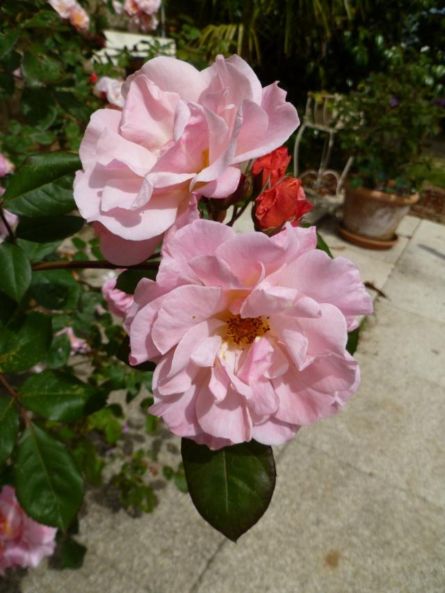 le royaume des rosiers...Vive la Rose ! 01715