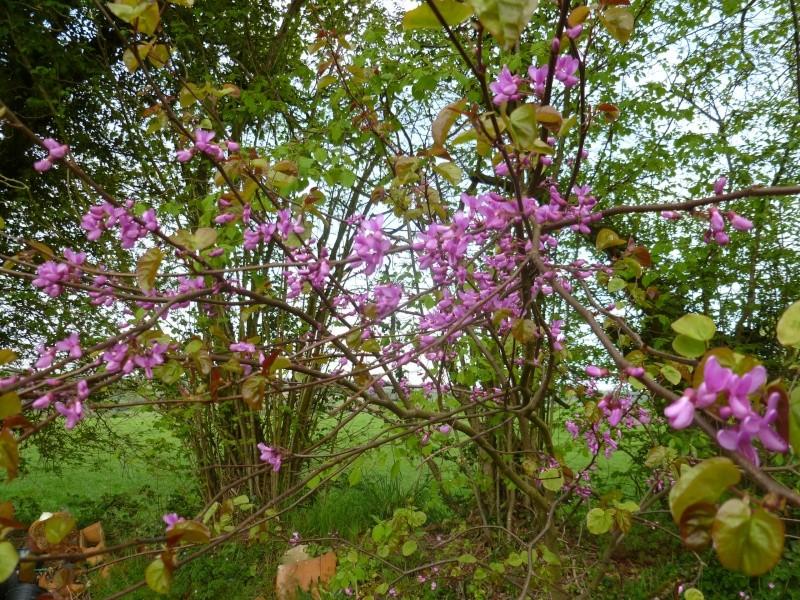 Cercis Siliquastrum (arbre de Judée) 03011