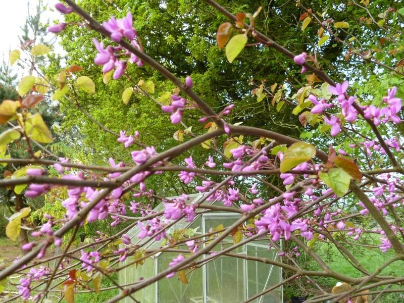 Cercis Siliquastrum (arbre de Judée) 03111