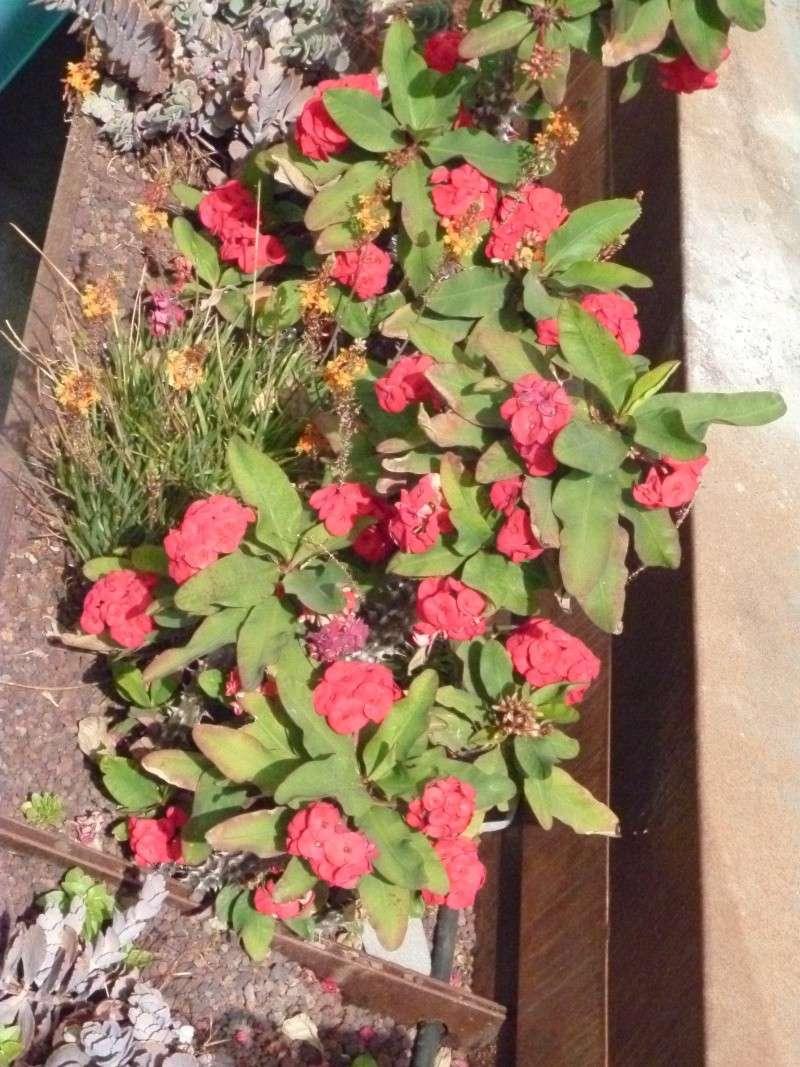 Floraisons de succulentes et cactées - Page 6 03210
