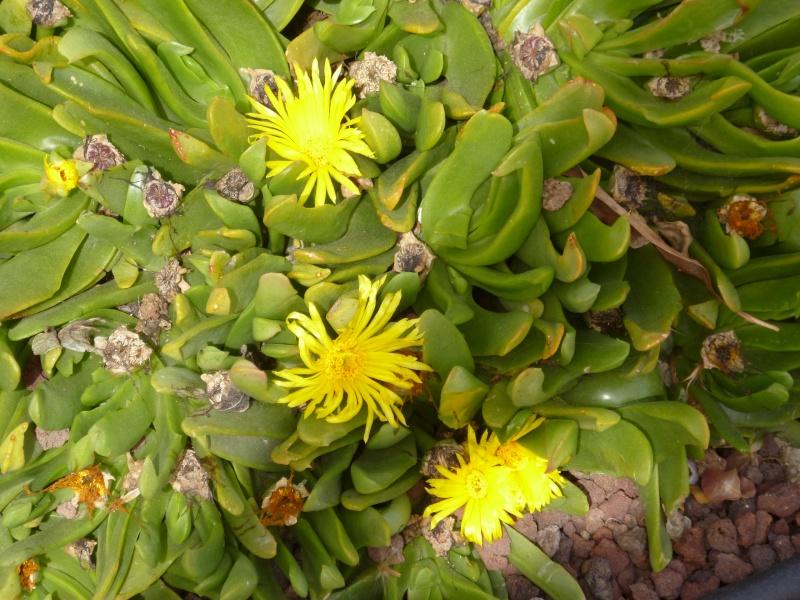 Floraisons de succulentes et cactées - Page 6 03410
