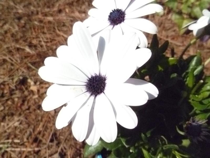 Floraisons du mois de juin 03513