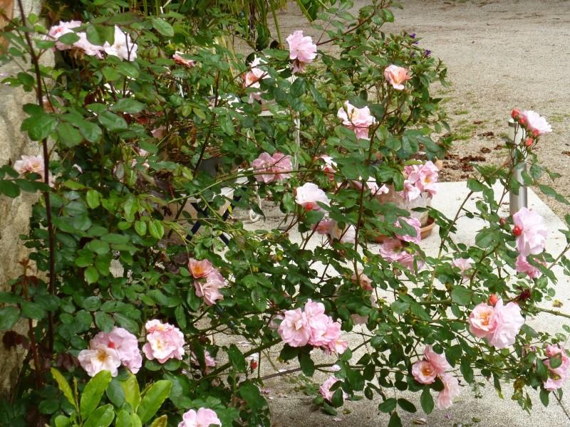 le royaume des rosiers...Vive la Rose ! 04011