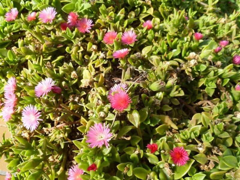 Floraisons de succulentes et cactées - Page 6 10910