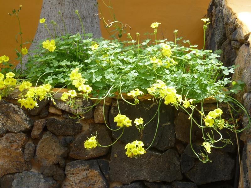 Floraisons de succulentes et cactées - Page 6 11510