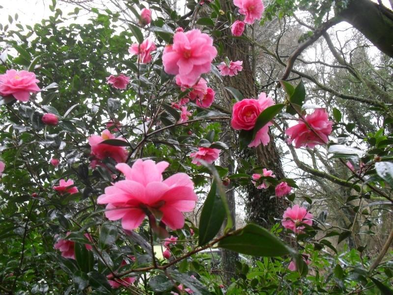 Camélias: variétés, mode de culture, époque de floraison. partie I 27010