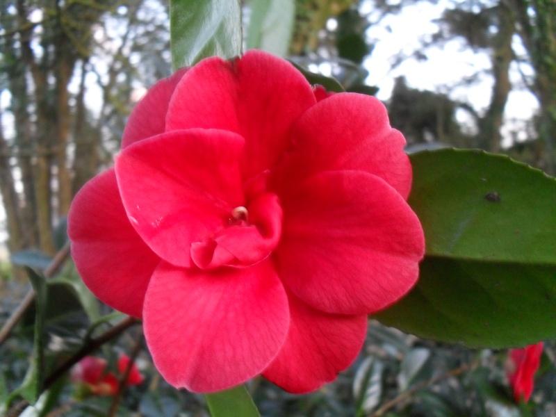 Camélias: variétés, mode de culture, époque de floraison. partie I Camali11