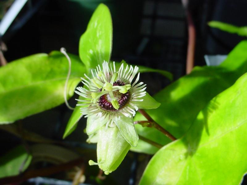 Passiflora coriacea Passif11