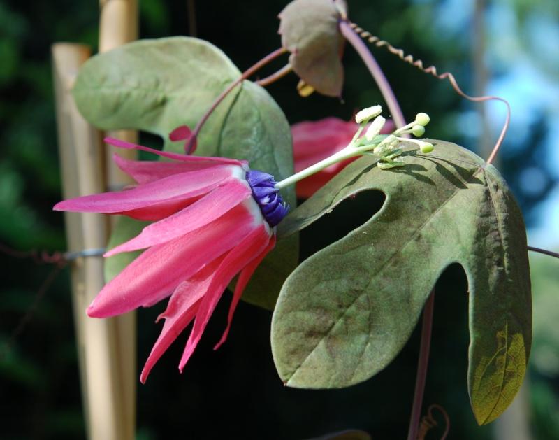 Passiflora edmundoi Passif18