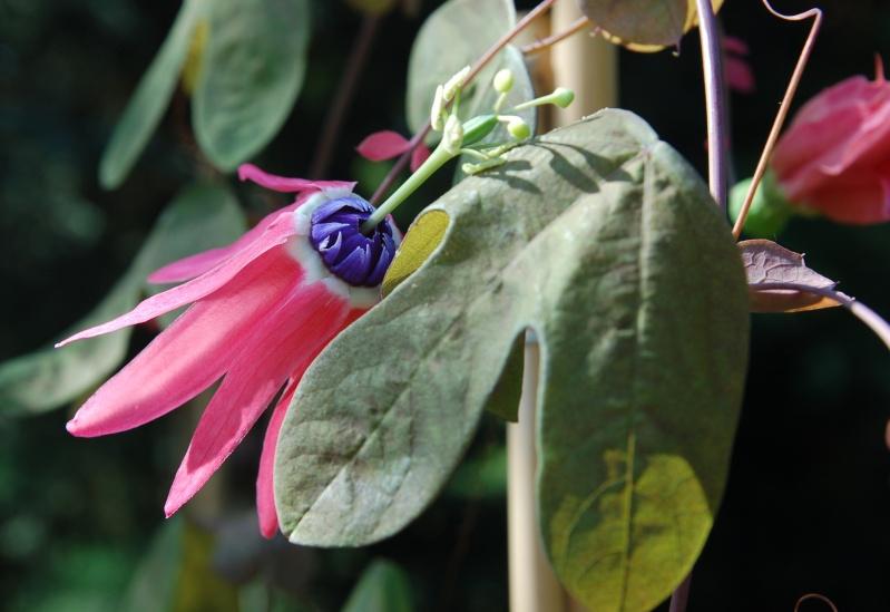 Passiflora edmundoi Passif20